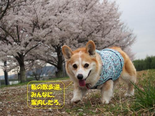 節ちゃんの散歩道案内~