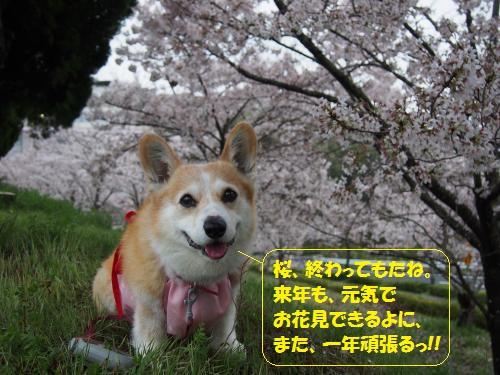 来年も桜見る~の誓い