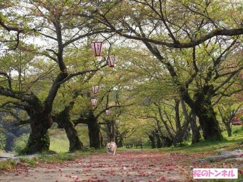 桜咲いてたらな~