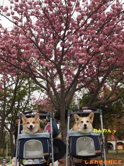 しあわせの村、お花見ピクニック