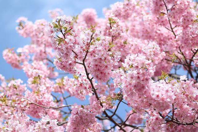 IMG_8214河津桜