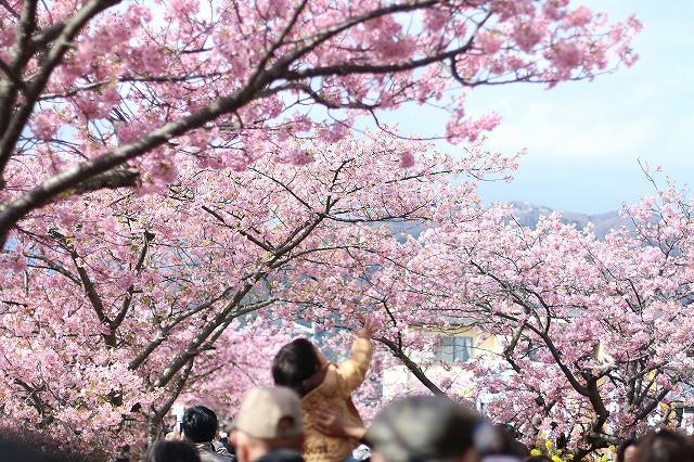 IMG_8212河津桜