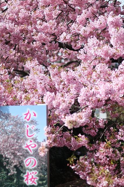 IMG_8191河津桜
