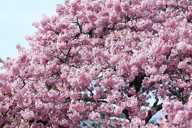 IMG_8183河津桜