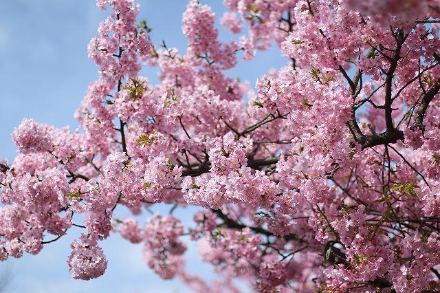 IMG_8200河津桜