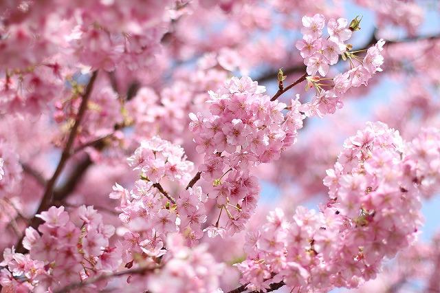 IMG_8211河津桜