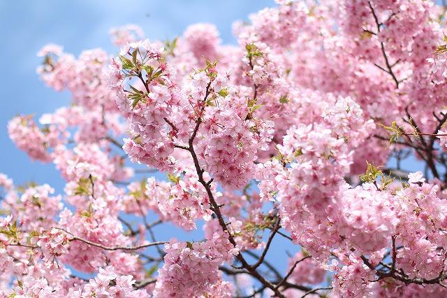 IMG_8215河津桜