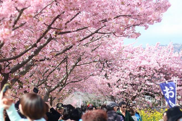 IMG_8225河津桜