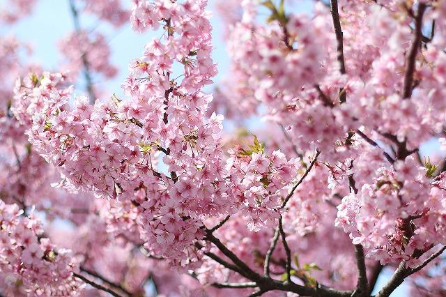 IMG_8235河津桜