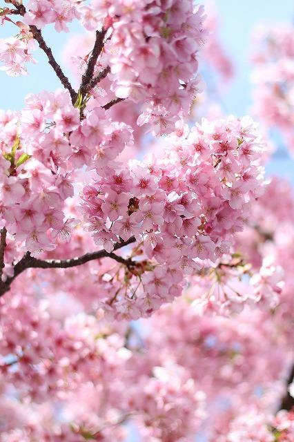 IMG_8238河津桜