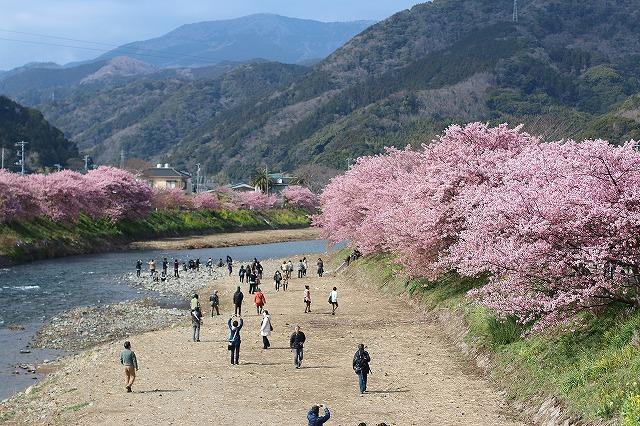 IMG_8247河津桜