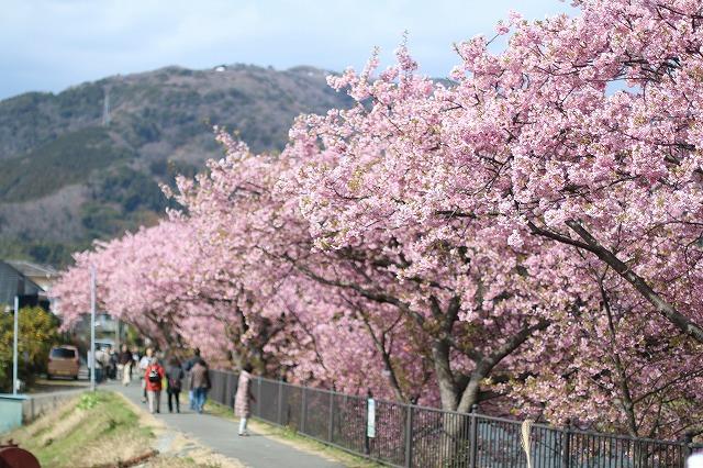 IMG_8254河津桜