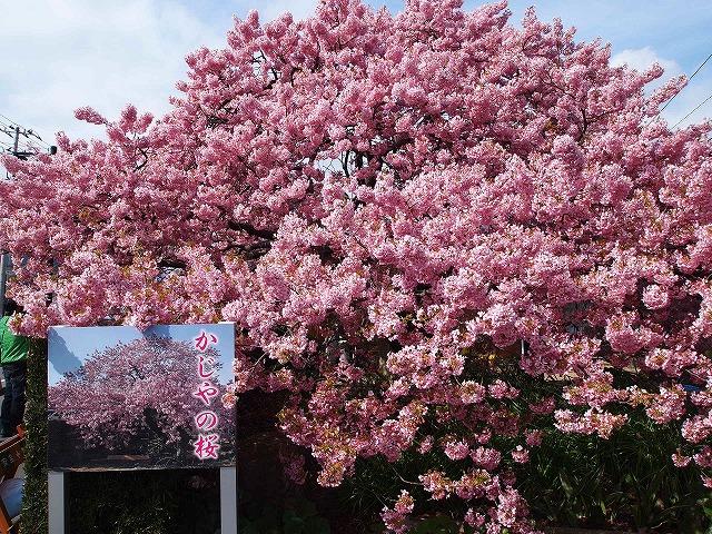 P3052946河津桜