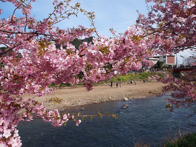 P3052954河津桜