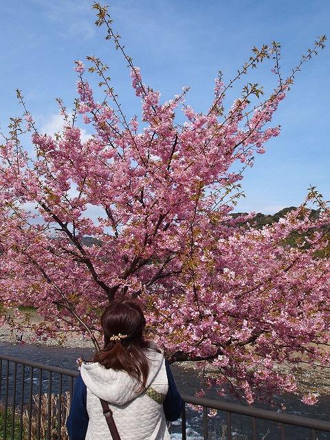 P3052955河津桜