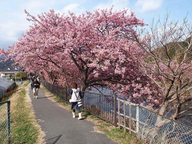 P3052959河津桜
