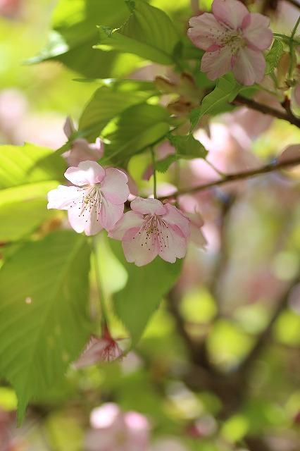 IMG_8710河津桜