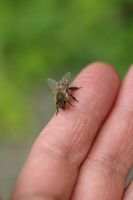 IMG_9634ミツバチ