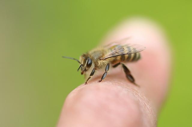IMG_9647ミツバチ