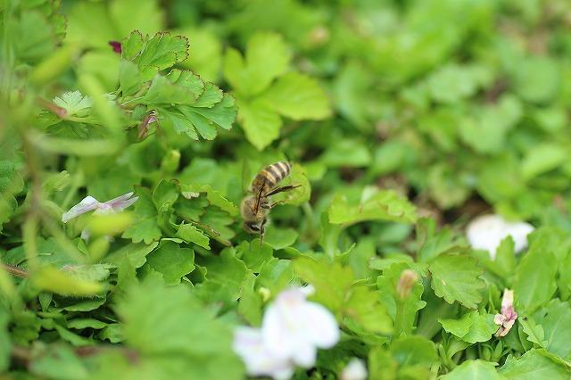 IMG_9692ミツバチ