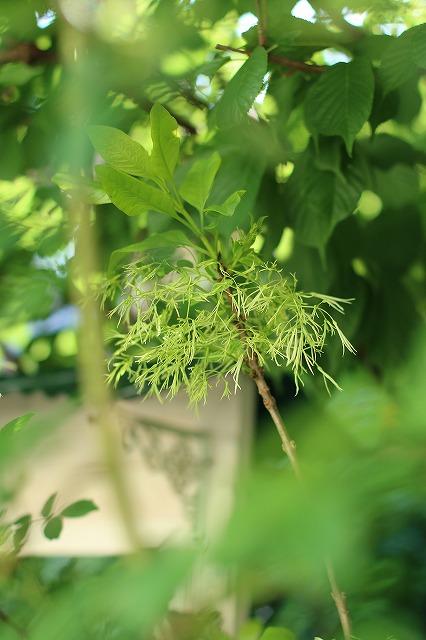 IMG_0621ナンジャモンジャの木