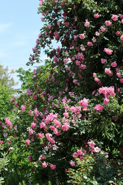 IMG_1327花菜ガーデン