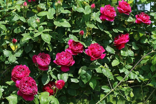 IMG_1338花菜ガーデン