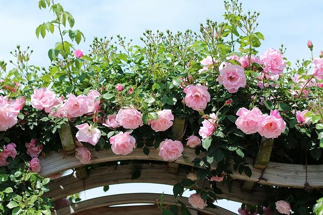 IMG_1355花菜ガーデン