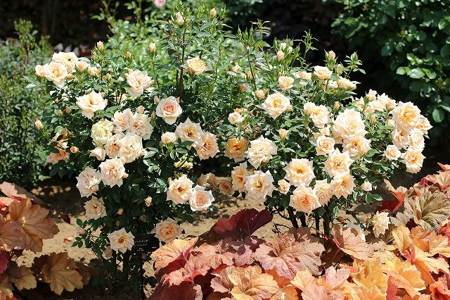 IMG_1360花菜ガーデン