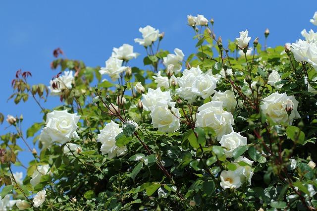 IMG_1363花菜ガーデン