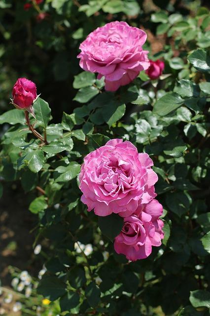 IMG_1364花菜ガーデン