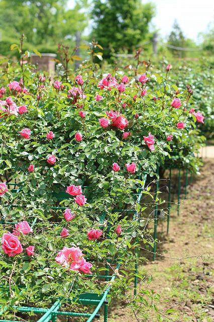 IMG_1367花菜ガーデン