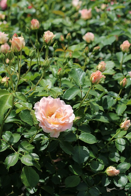 IMG_1369花菜ガーデン
