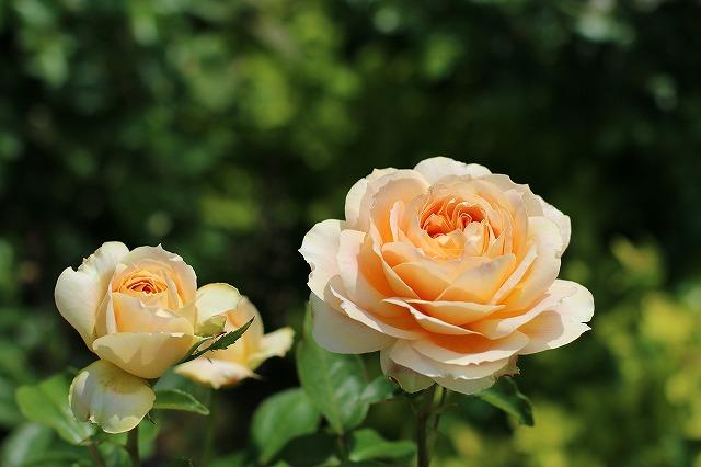 IMG_1376花菜ガーデン