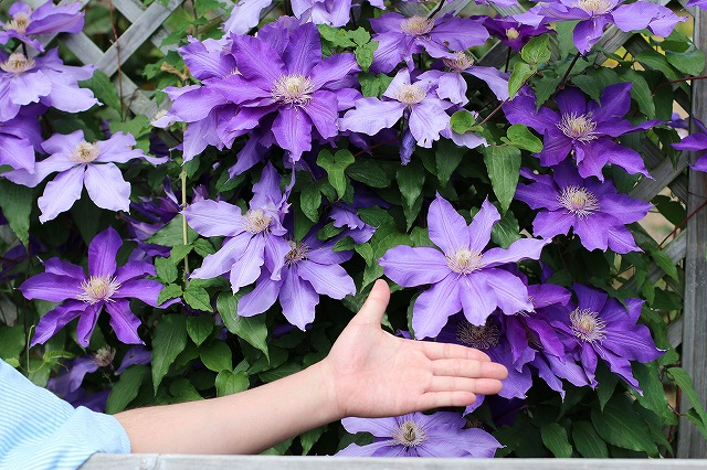 IMG_1380花菜ガーデン