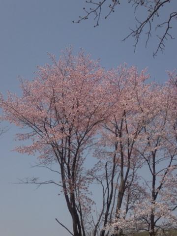 2015.5.2.相内神社境内の桜