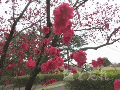 IMG_0196_20150419_02_国立ひたち海浜公園