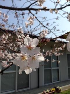 桜H27春