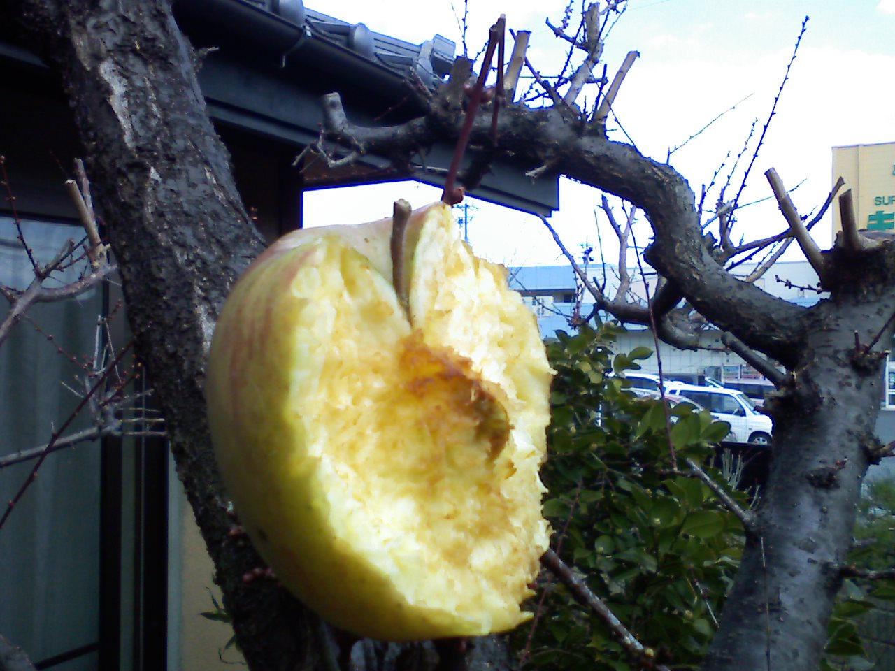 鳥のリンゴ