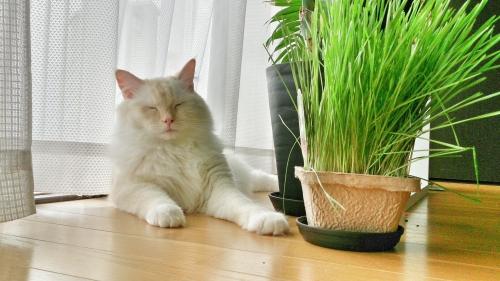 猫草と白玉猫