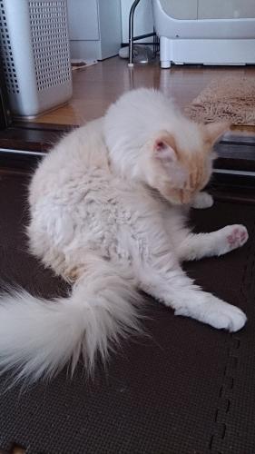シャンプー後白玉猫半乾2