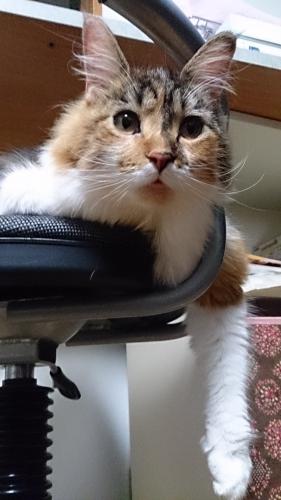 小豆猫_どきませんよ
