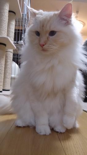 白玉猫35