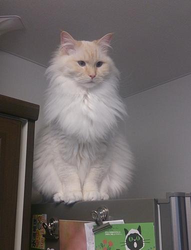 白玉猫72
