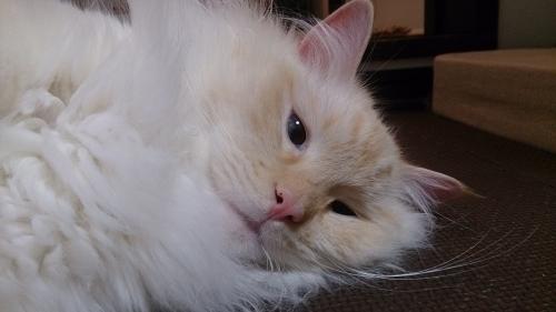 白玉猫55