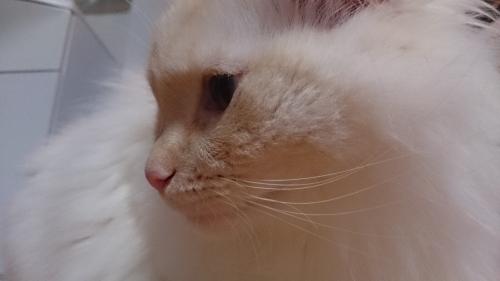 白玉猫56
