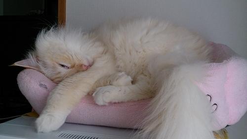 白玉猫60