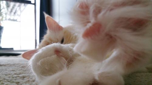 白玉猫65