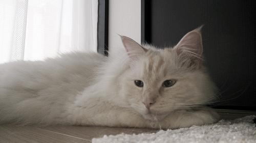 白玉猫70