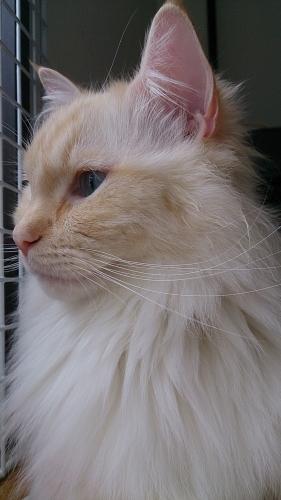 白玉猫68